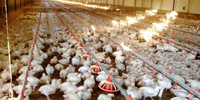 Contract Poultry Farming